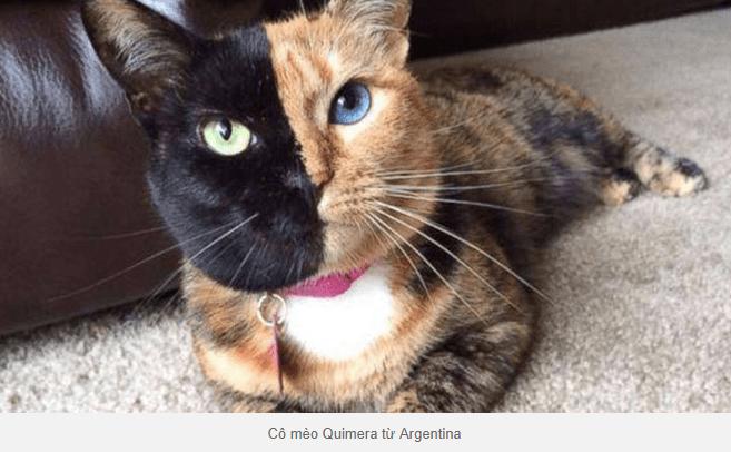 mèo Quimera