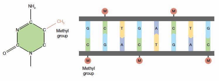 methyl hóa ADN