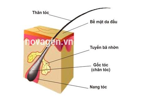 cấu tạo sợi tóc làm xét nghiệm adn