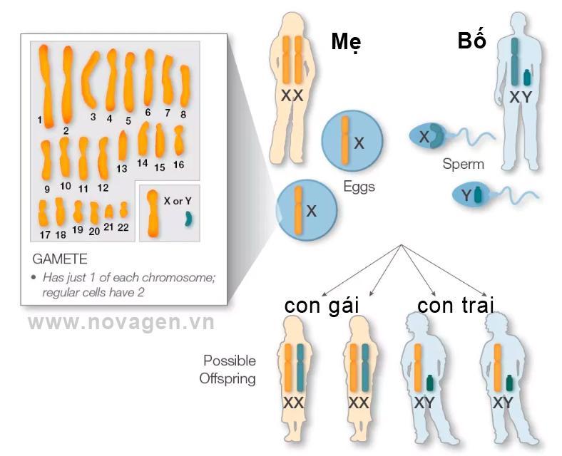 nhiễm sắc thể giới tính